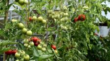 Productores de tomate exigen retirar arancel de sus productos