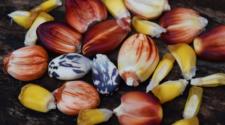 Semilla de maíz de Campeche busca ofertarse a nivel nacional
