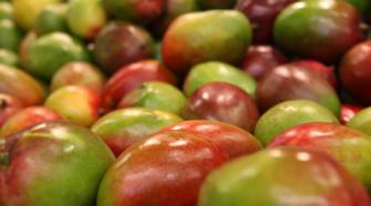 Cosecha de mango mexicano en incertidumbre