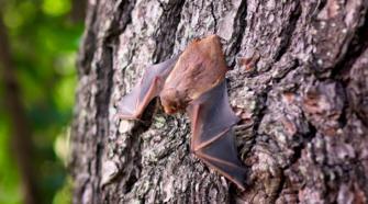 Investigadores protegen a murciélago polinizador de agave