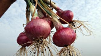 Importación de cebolla se elevó 482.2% en primeros 5 meses del año