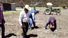 Productores de Tlaxcala siembran variedades experimentales de trigo