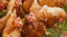 Un mito, el uso de hormonas para crecimiento de pollos