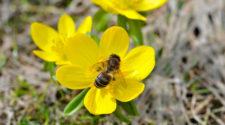 En zonas aguacateras abejas peligran por uso de agroquímicos
