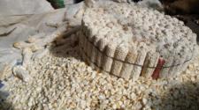 Por plagas, centro de México podría quedarse sin maíz pozolero