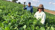 Promueven recuperación de soya en Sinaloa