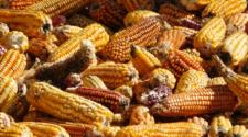 Promueven rescate de maíces nativos de México