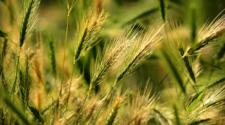 Trazan plan para dar mayor valor a la cebada en México