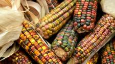 Arrancan programa de rescate de maíces nativos