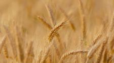 Aumenta la producción de trigo en Tlaxcala