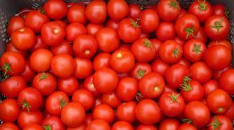 Preocupan condiciones de acuerdo para exportar tomate a EU