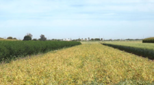 Rotación de cultivos trae beneficios a la economía de productores: Cimmyt