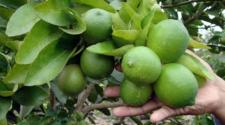 Buscan mercados para exportar limón italiano