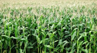 Cosecha de maíz forraje alcanza rendimiento de 85 toneladas por hectárea