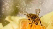 Designan a las abejas como los animales más importantes del mundo