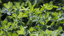 En México, 26 estados son productores de alfalfa