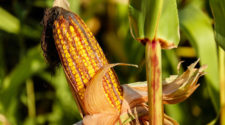 Estiman 35% en pérdidas de cultivos de maíz en Campeche por sequía