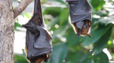 Murciélagos reducen plagas y uso de pesticidas