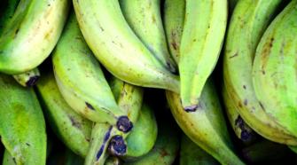 Productores pierden 400 hectáreas de plátano por huracán Narda