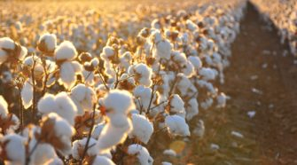 ¿Es realmente sostenible el algodón orgánico?