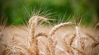 Falta de agua pone en peligro cultivos de avena, trigo y cebada en Querétaro