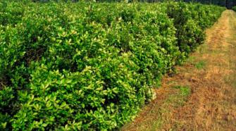 Residuos de yerba mate son materia prima para abono orgánico