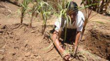 Proponen uso de mezquite para descontaminar suelos