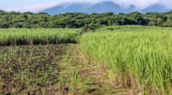 Investigadores del Colpos mejoran variedad de caña de azúcar