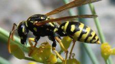 Las avispas sobreviven a pesticidas por sus microbios intestinales